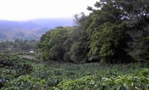 IOC Coffee Cultivation