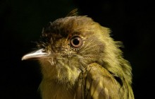 sepia-capped flycatcher - 700x350