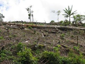Deforestation to make way for coffee