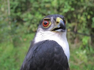 White-breasted Hawk