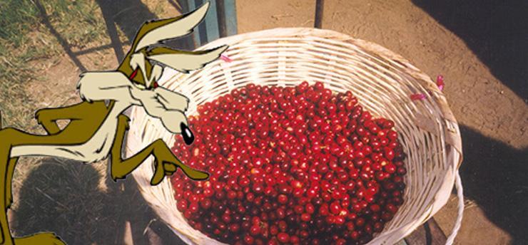 coyotes-threaten-sustainable-coffee