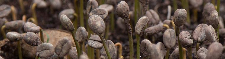 french-roast-coffee-organic