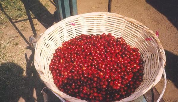 harvesting-coffee-farms