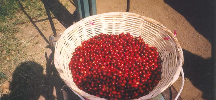 Harvest Series #2: Picking the Coffee Cherries