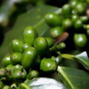 organic-coffee-beans-plant